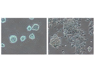 Study reveals molecular mechanisms involved in the maintenance of naïve embryonic stem cells
