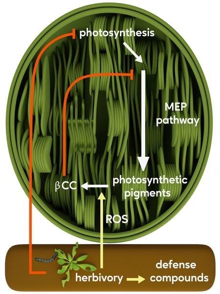 Volatile signal in plants activates defense, inhibits growth processes