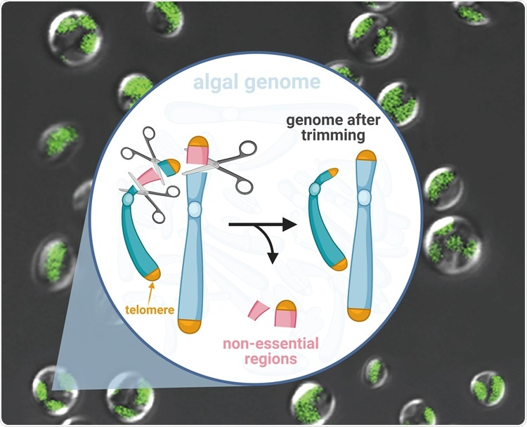 "New ""genome scalpel"" can rapidly trim microalgal genomes"