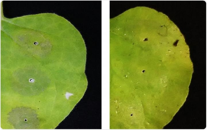 Spraying leaves with vitamin C can dramatically increase protein production