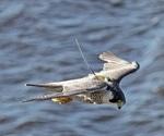 """Researchers identify """"migration gene"""" in birds"""