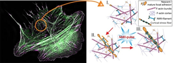 """Study reveals new mechanism through which cells build """"mini-muscles"""""""