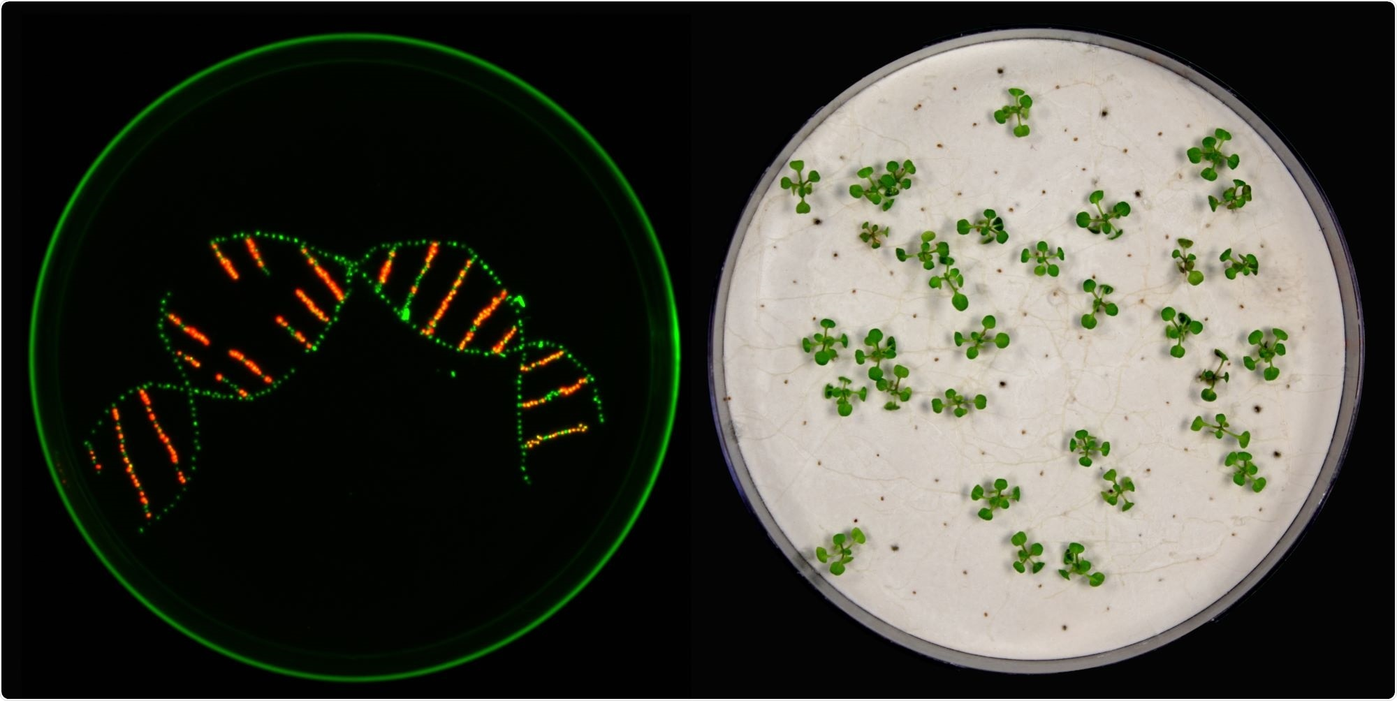 Improved version of CRISPR/Cas9 tool helps study the interaction of various genes
