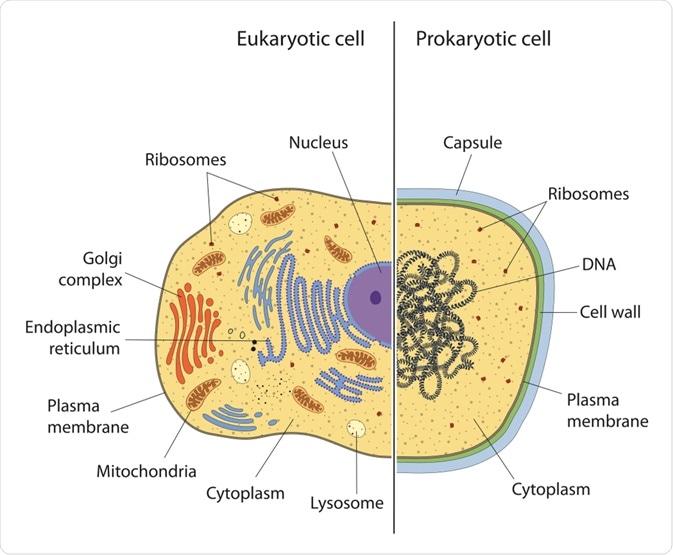 Prokaryotic vs Eukaryotic Cell