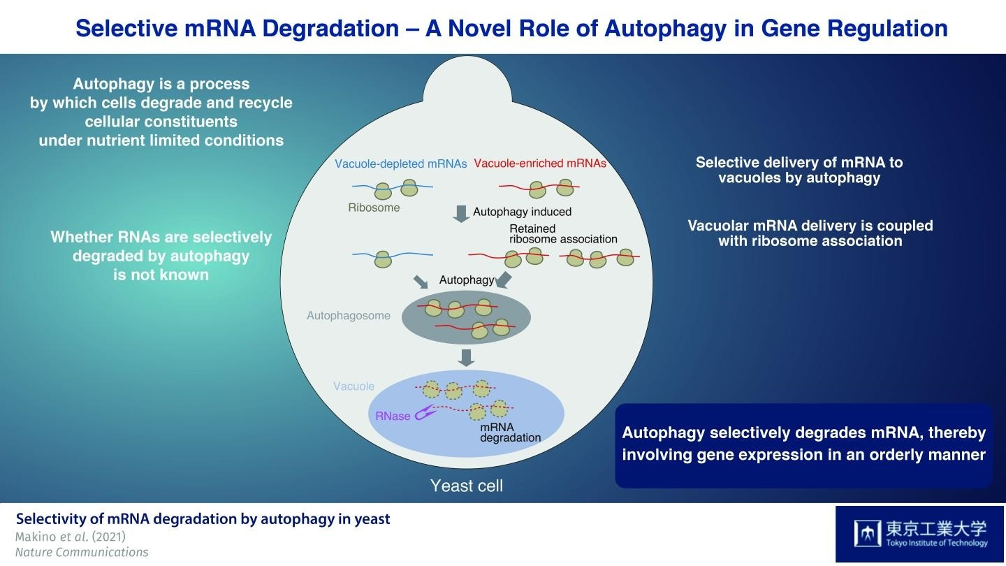 Study highlights the importance of autophagy in gene regulation