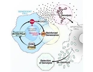 Novel, non-invasive biomarker test could help measure, track performance of senolytics
