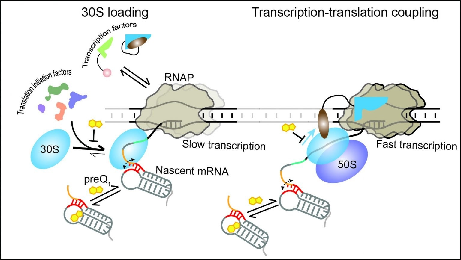 Study reveals RNA regulatory mechanisms within transcription-translation couplings