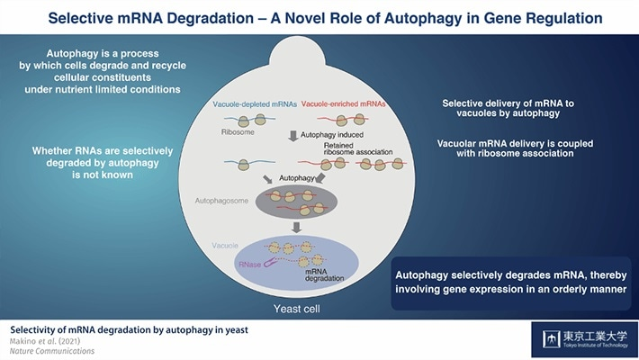 Study shows that autophagy plays a key role in messenger RNA degradation