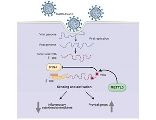 Study finds how SARS-CoV-2 hijacks human cell machinery to disrupt the immune response
