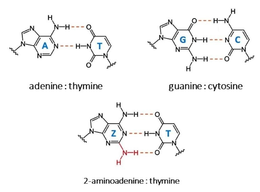 Researchers identify the biosynthesis mechanism of new DNA nucleobases