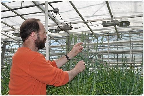 Non-specific lipid transfer proteins help improve wheat tolerance
