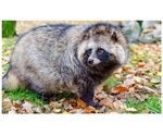 Researchers sequence genome of raccoon dogs that are reservoir hosts for coronaviruses