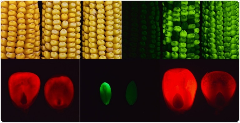 Mutant corn gene found to increase the amount of sugars in the seeds and leaves