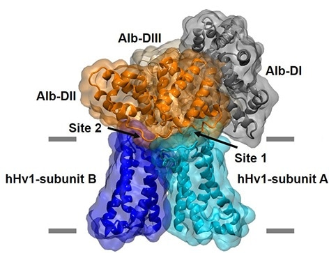 Prevalent protein in the blood plays a vital role in human fertilization, infection resistance