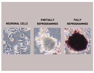 Chemical fingerprints help assess the reprogramming of regular cells into stem cells