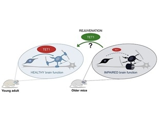 Study reveals key molecule involved in myelin repair