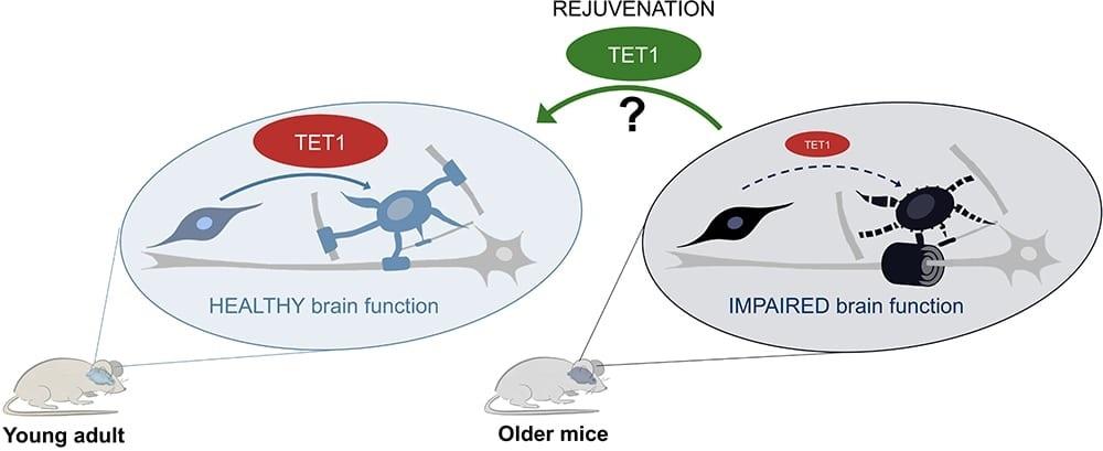 Study reveals key module involved in myelin repair