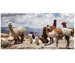 Study employs llama nanobodies to hunt human cytomegalovirus