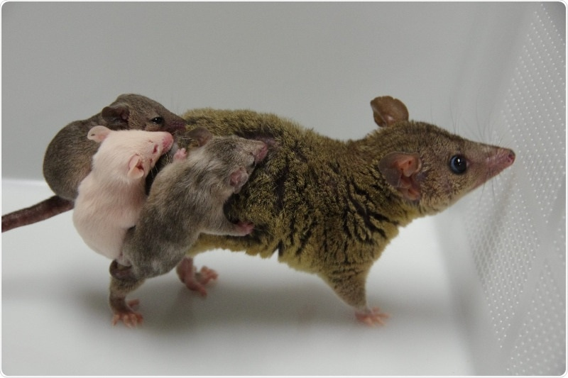 Researchers successfully create genetically engineered marsupials via genome editing