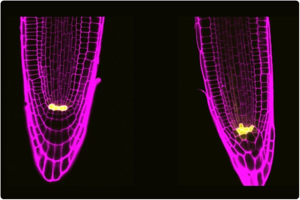Two plant stem cell proteins control the division of cells and their response to stress