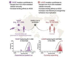 L452R mutation of SARS-CoV-2 spike protein is involved in cellular immunity evasion