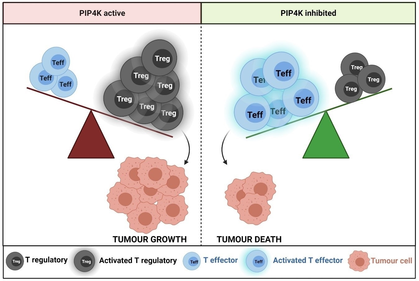 New advancement could improve immune system's ability to search, destroy tumor