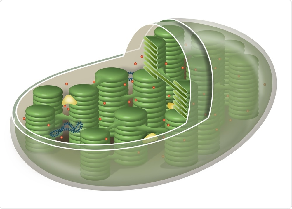 Chloroplasts in Plant Cell