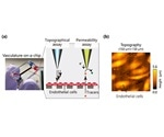 Study utilizes scanning probe microscopy to analyze organ-on-a-chip
