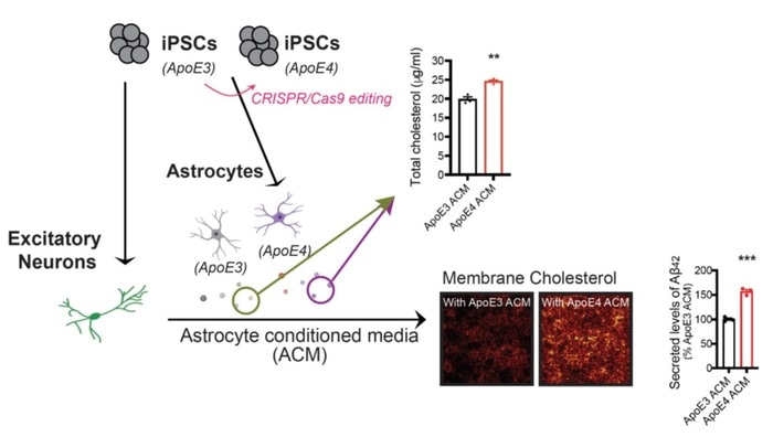 Brain cholesterol promotes toxic amyloid plaque formation in Alzheimer's disease