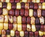Researchers identify genome sequences of 26 corn strains