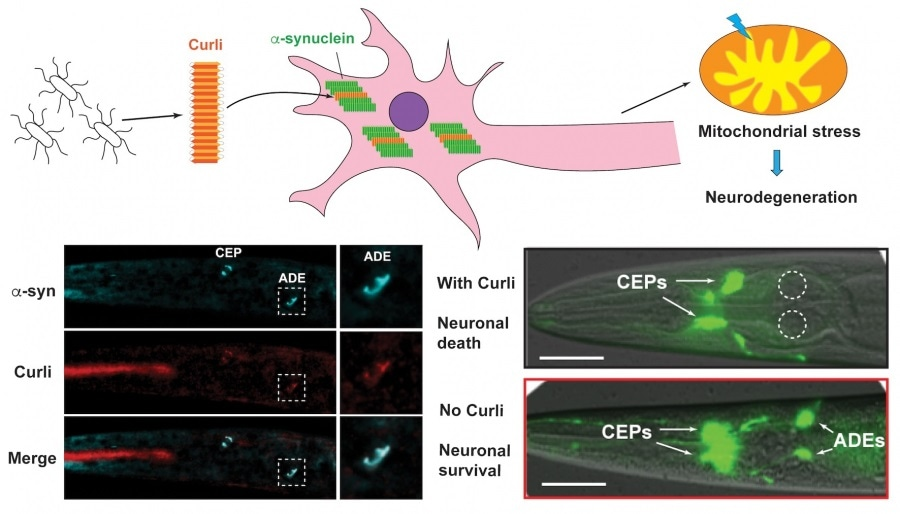 Bacteria-derived curli amyloid fibril promotes neurodegeneration in the host
