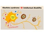 Researchers reverse Kleefstra syndrome after birth in a mouse model