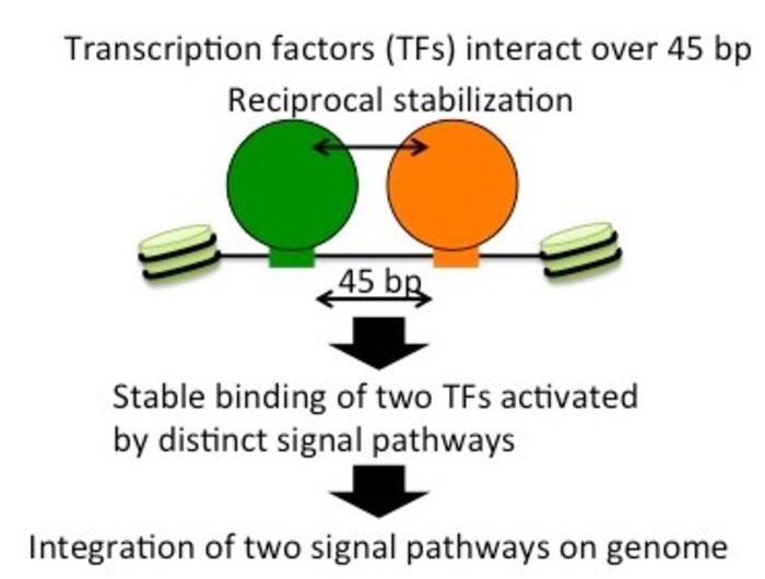 Study uncovers mechanism where two transcription factors stabilize each other's binding to DNA