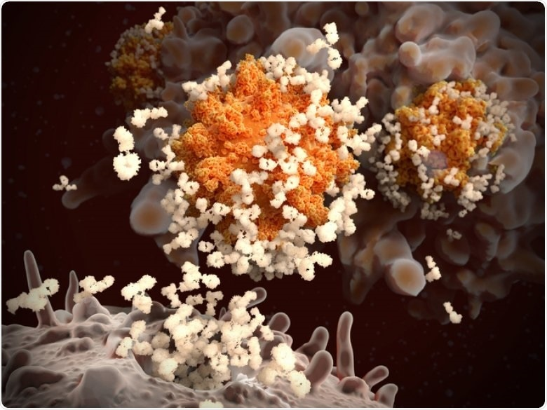 Study investigates the balance between effector B cells and memory response