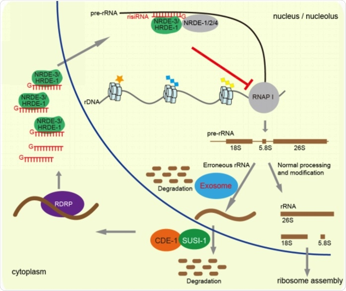 Study unravels factors involved in risiRNA generation