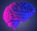 Study identifies vital factor involved in the evolution of the human brain