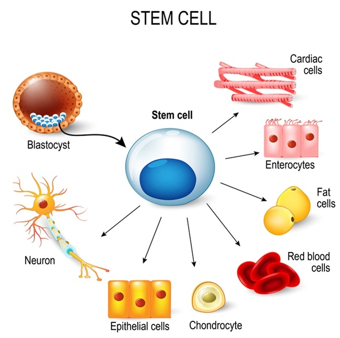 Stem cell and arrows pointing to all different special cell types.