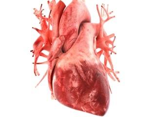 In vitro cardiotoxicity screening using 3D-printed human heart tissues