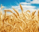 Multiple genomes reveal the diversity and adaptability of wheat