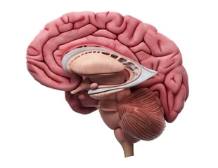 SARS-Cov-2 spike proteins can directly impact the function of blood-brain barrier