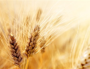Scientists unlock new genetic variation in wheat and barley