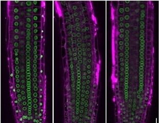 Architecture of cell nucleus can change gene activity in plants