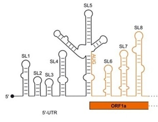Study reveals genomic structures that allow SARS-CoV-2 virus to control the infection process