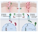 Study shows microbiome can determine the wound healing process