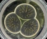 Researchers sequence the genome of original penicillin strain