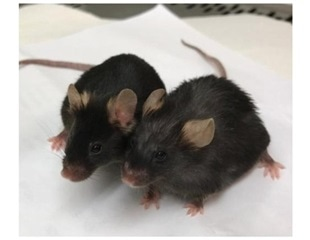 Mice study shows naturally-occurring metabolite improves longevity