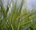 CRISPR technique can improve the quality of barley grain